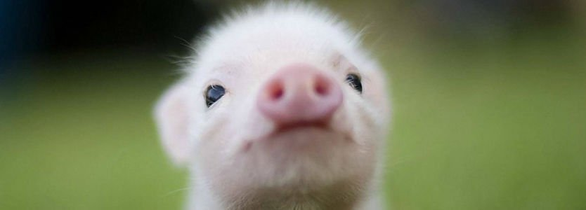 cerdito Oink my God_opt