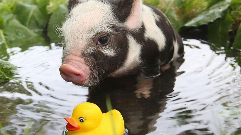 Cerdo vietnamita pequeño juega con un patito de goma amarillo en un charco de agua.